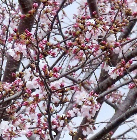 20160403 市役所桜 015-2