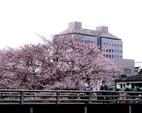 20160403 市役所桜 032-2