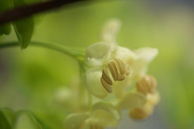 バナナアケビの花