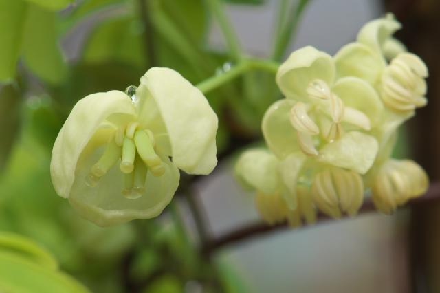 バナナアケビの花-01