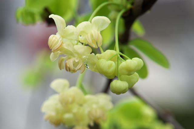 バナナアケビの花-02