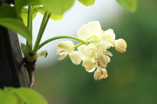 バナナアケビの花-03