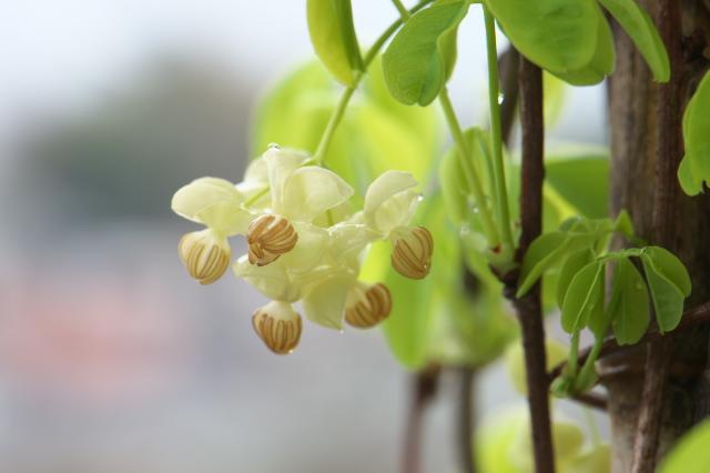 バナナアケビの花-04