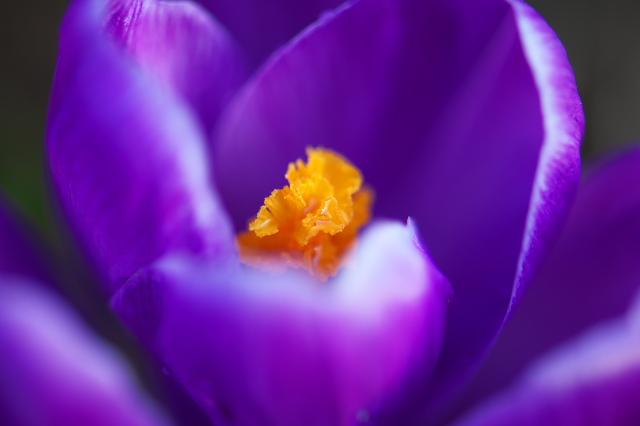 紫のクロッカス-03
