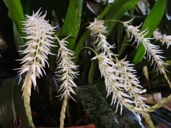 Dendrochilum glumaceum-04