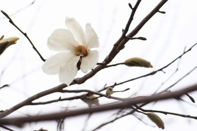 コブシの花-02