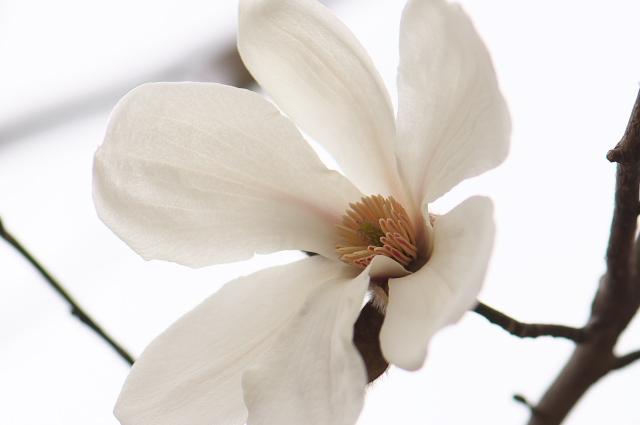 コブシの花-01