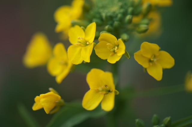 小松菜の花-01