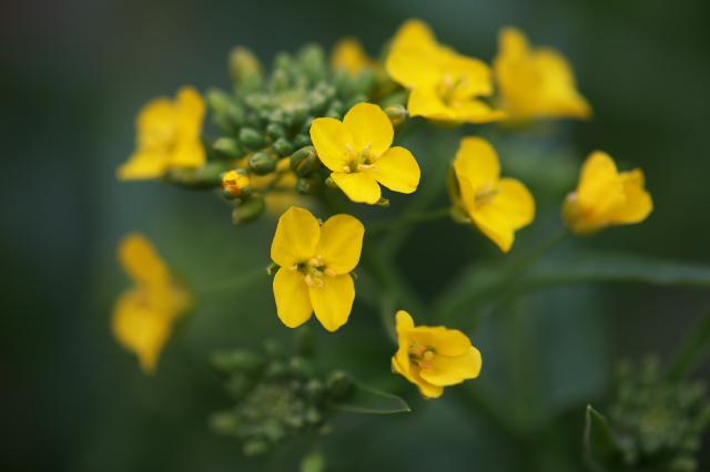 小松菜の花-02
