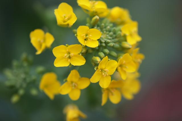 小松菜の花-03