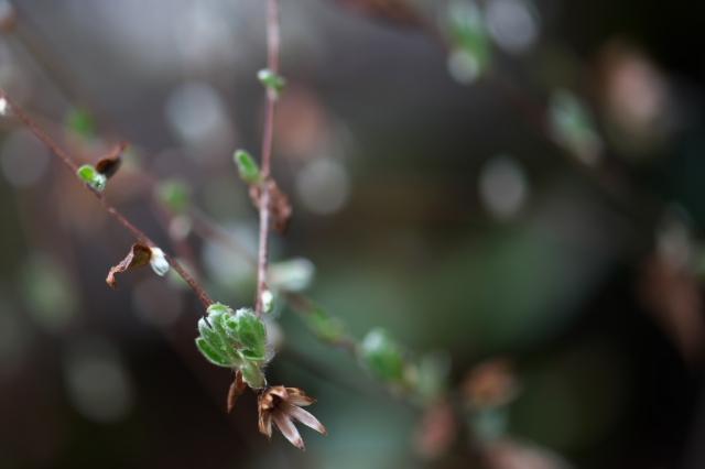 コウヤボウキの新芽