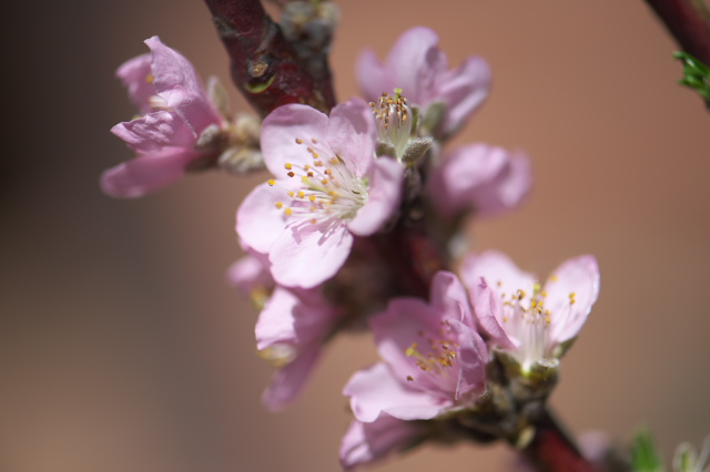 桃の花-01