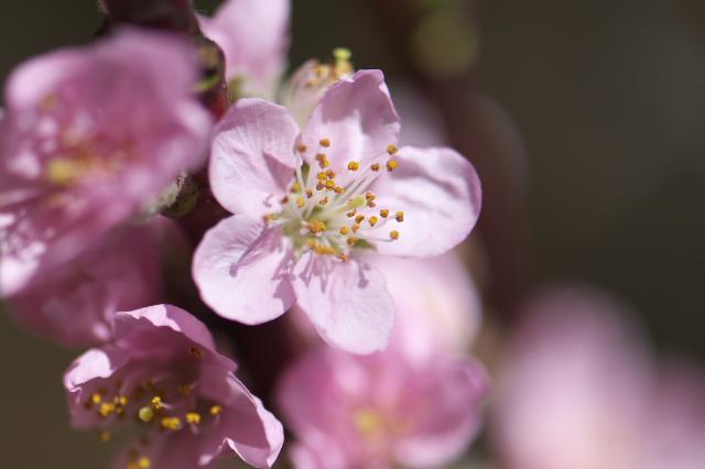 桃の花-02
