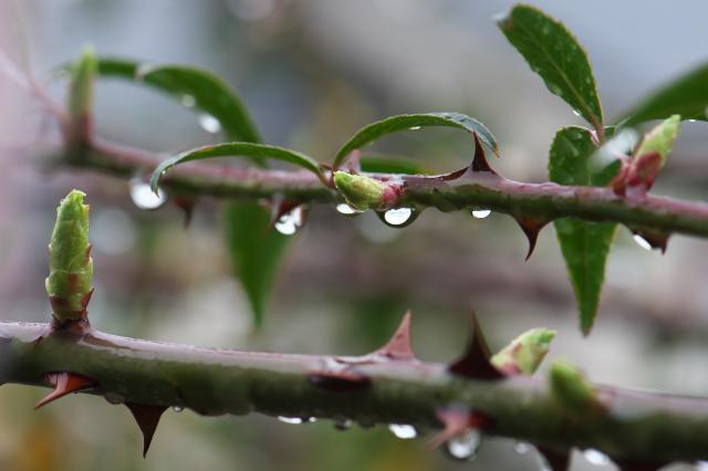 Rosa.laevigataの芽吹き
