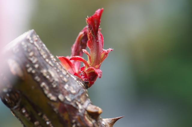 クイ-ンエリザベスの芽吹き