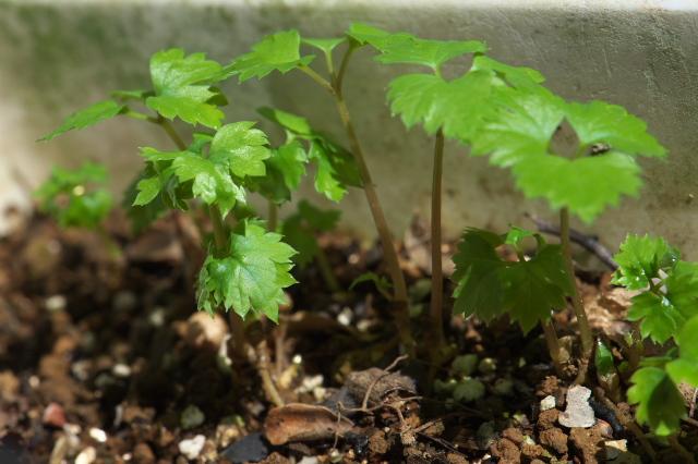 レンゲショウマの芽吹き-八重咲き種-01