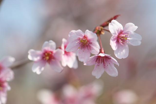 名も知れぬ桜