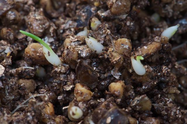 山百合の種の発芽-02