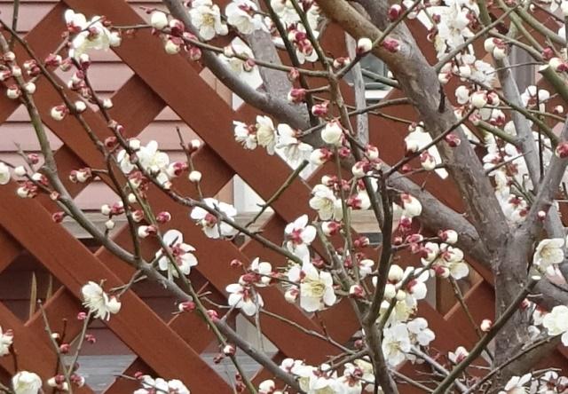 梅の花がきれいだ
