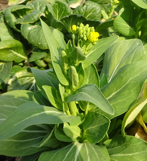 チンゲンサイの菜の花