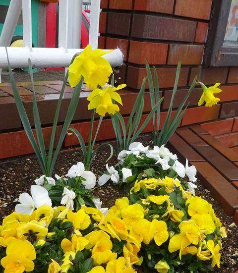 3月7日の水仙開花