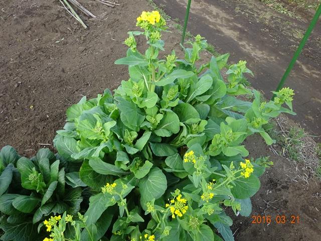 新戒青菜の菜の花