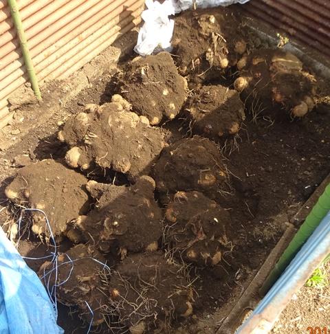 掘りあげたサトイモの株