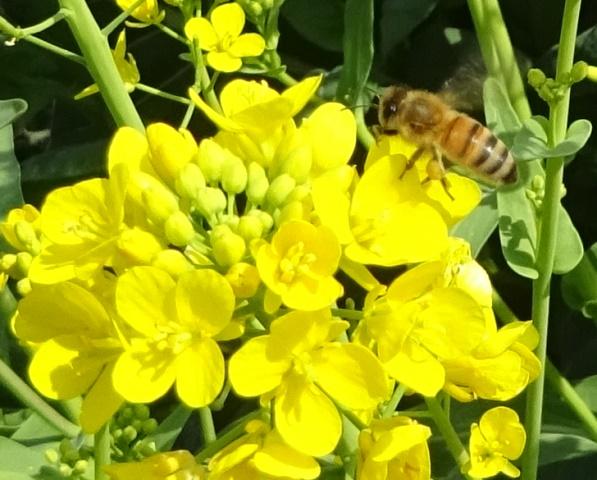 蜜を集めるミツバチ1