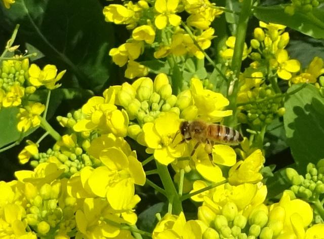 蜜を集めるミツバチ2