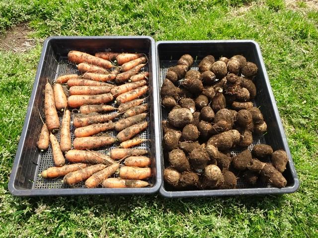 今日の収穫ニンジンとサトイモ