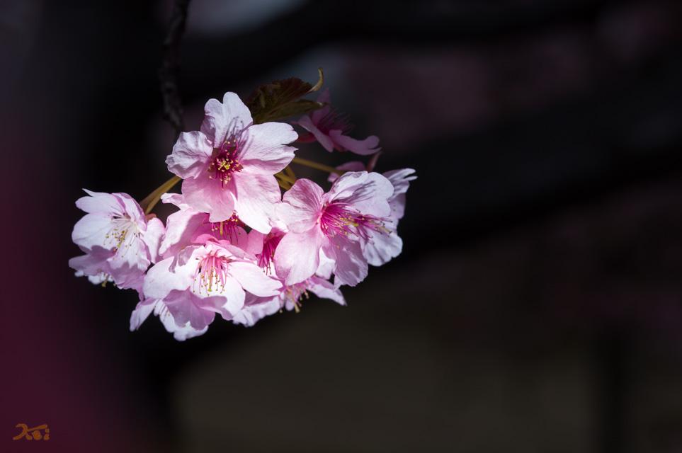 20130313河津桜12