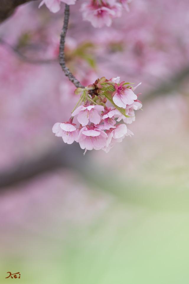 20130313河津桜06