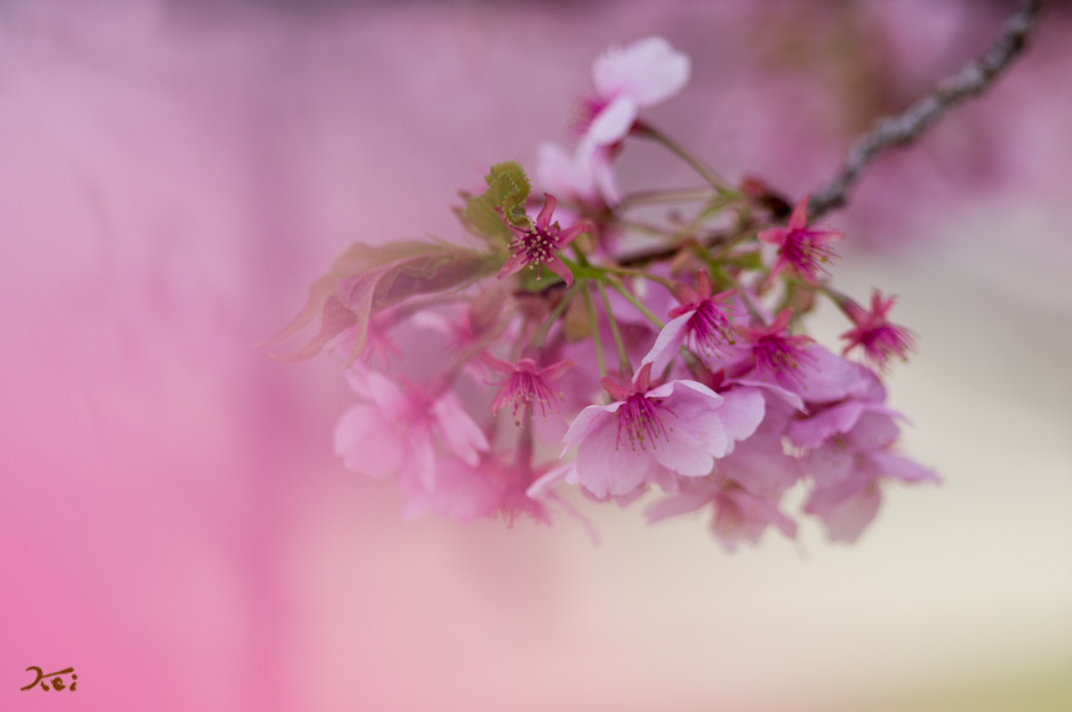 20130313河津桜08