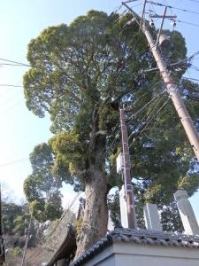 大東寺の楠木