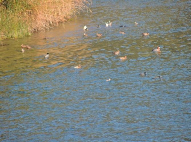 かざき池の渡り鳥