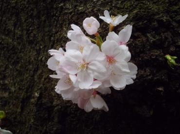 桜20160402 3.7