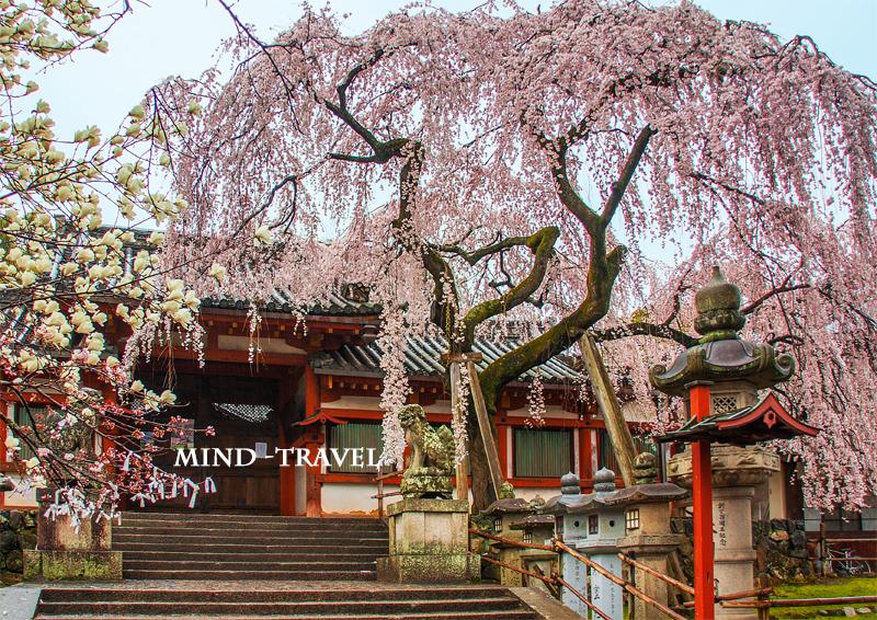 氷室神社 しだれ桜2