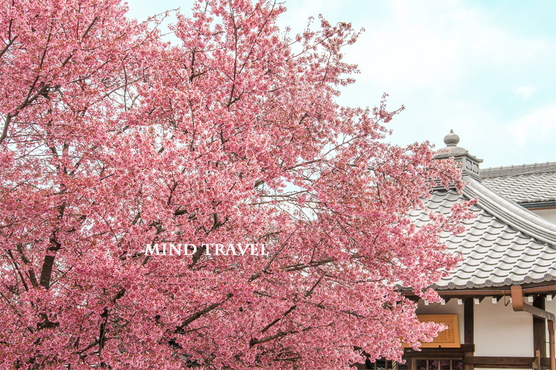 長徳寺 おかめ桜3
