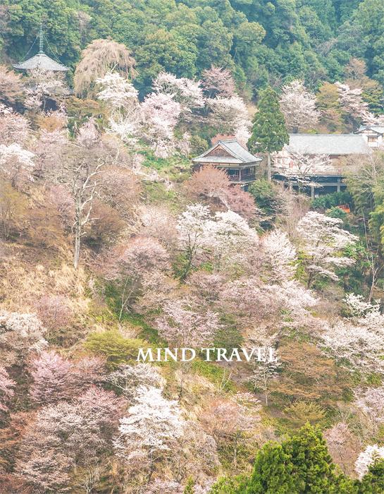 如意輪寺 桜