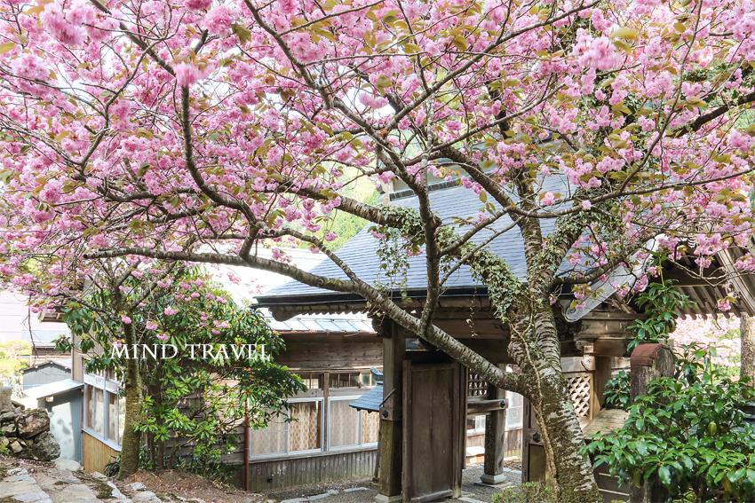 金龍寺 八重桜