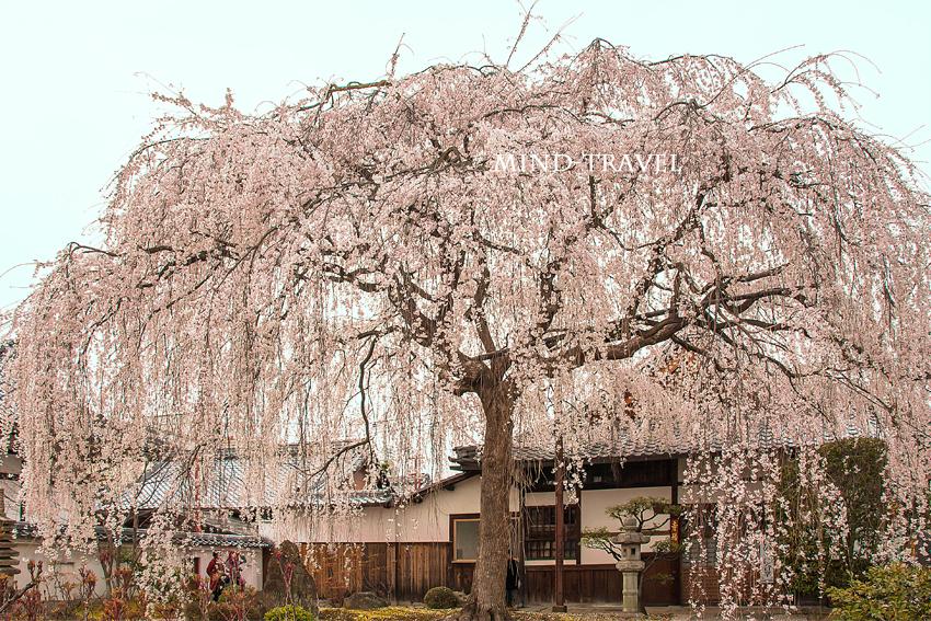 本満寺 しだれ桜