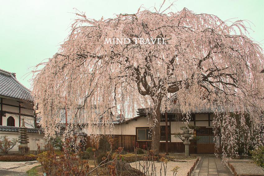 本満寺 しだれ桜4