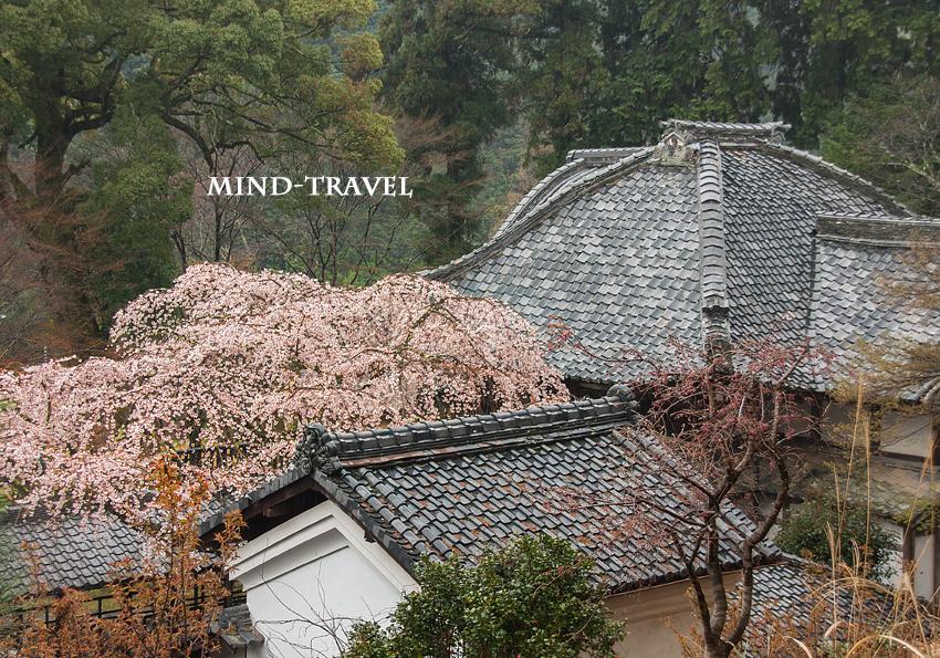 十輪寺 しだれ桜