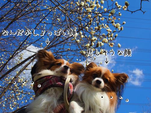 GVKD6X5x桜さくさく3