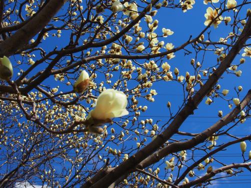 P3121835桜さくさく1