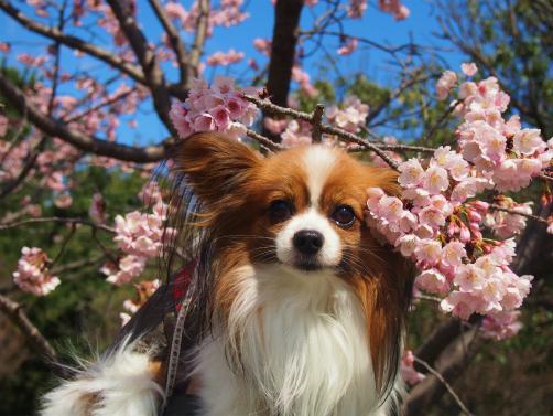 P3121872桜さくさく6