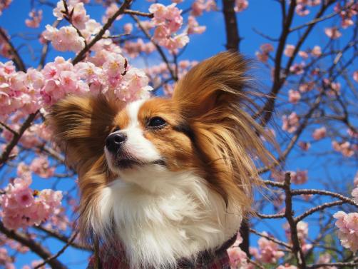 P3121877桜さくさく7