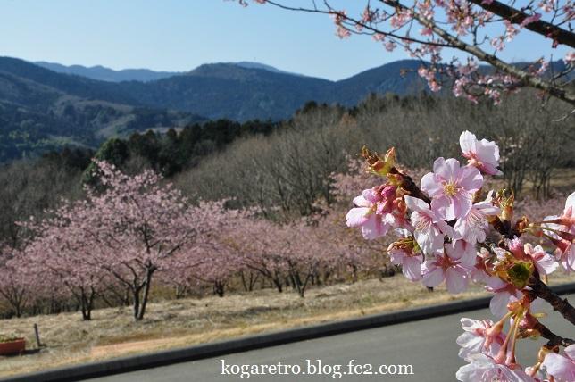 茨城県フラワーパークの河津桜