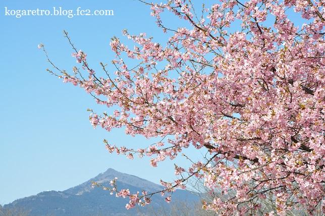 茨城県フラワーパークの河津桜2