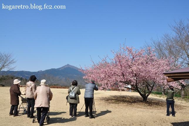 茨城県フラワーパークの河津桜3